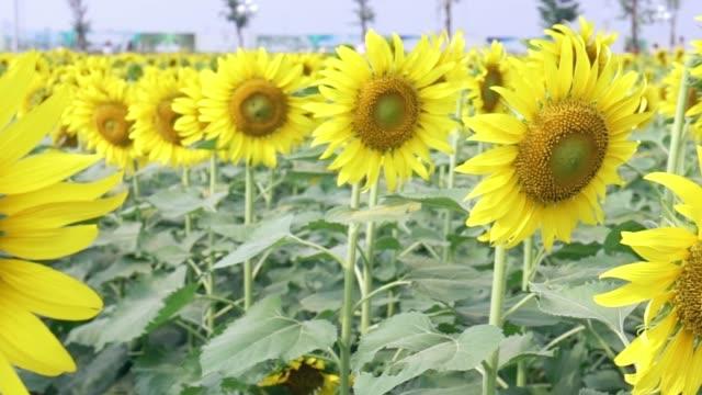 vidéos et rushes de fermez-vous vers le haut des champs de tournesol avec des fleurs fleurises comme le soleil brillant dans les fermes organiques - radiation