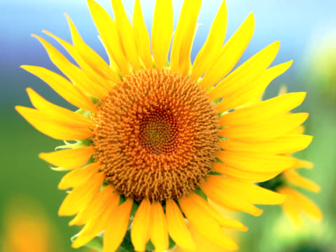 ntsc: close up of sunflower in the wind (video) - common sunflower stock videos & royalty-free footage