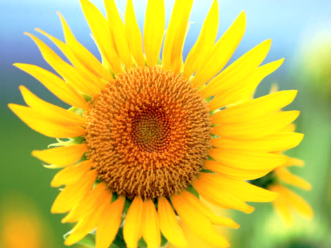 pal: close up of sunflower in the wind (video) - common sunflower stock videos & royalty-free footage