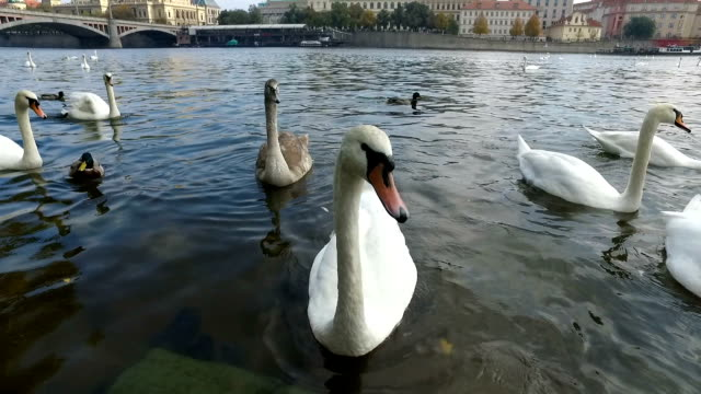 close up of swans and other birds in vltava river - vltava river stock videos & royalty-free footage