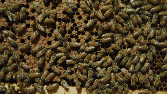 close up of swarm of bees crawling on beehive frame / spring city, utah, united states - tiergruppe stock-videos und b-roll-filmmaterial