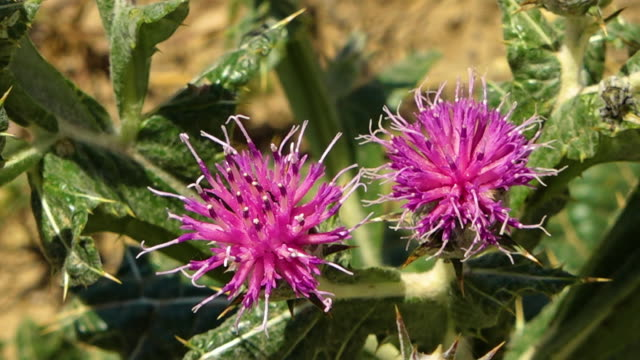 close up of syrian thistle with native bugs - thistle stock videos & royalty-free footage