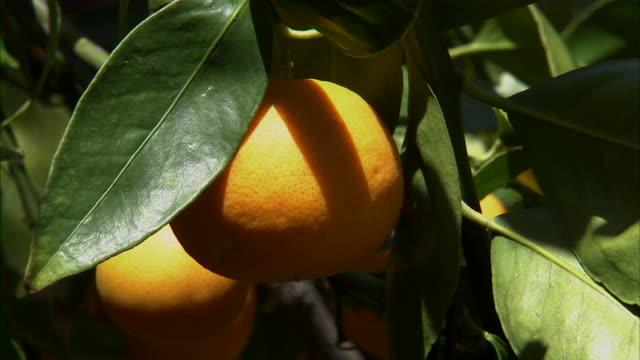vídeos de stock, filmes e b-roll de close up of tangerines on vine. - folha