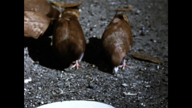 close up of the empty white plate on the ground and brown pigeons picking on the ground with their beaks - animal mouth stock videos & royalty-free footage