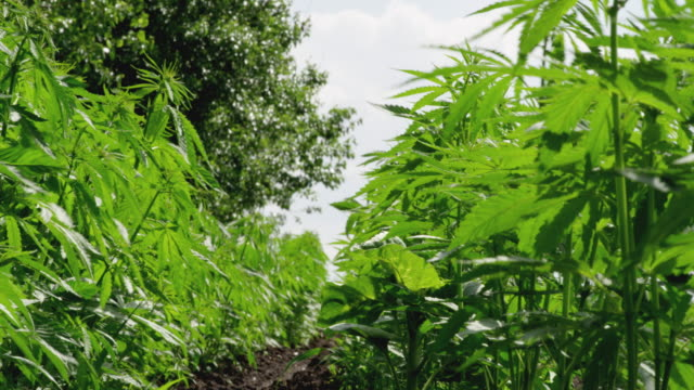 close up of the harvest of the hemp field. agricultural occupation. medical marijuana plantation. - agricultural occupation stock videos & royalty-free footage