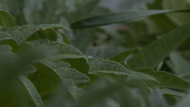 close up of thick, meaty vegetable leaves - thick stock videos & royalty-free footage