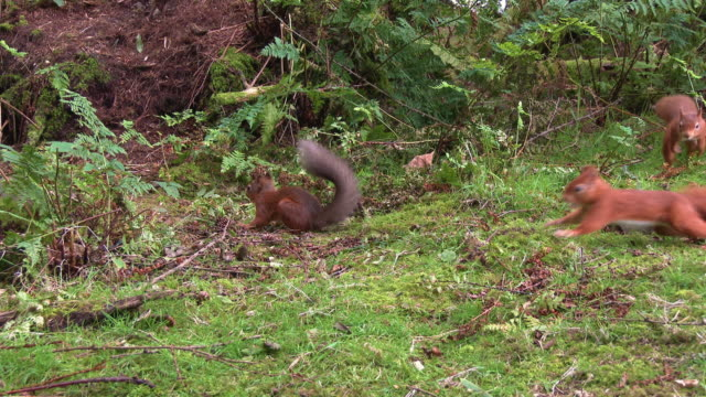 close up of three red squirrels chasing each other in scottish woodland on a summer morning - small group of animals stock videos & royalty-free footage