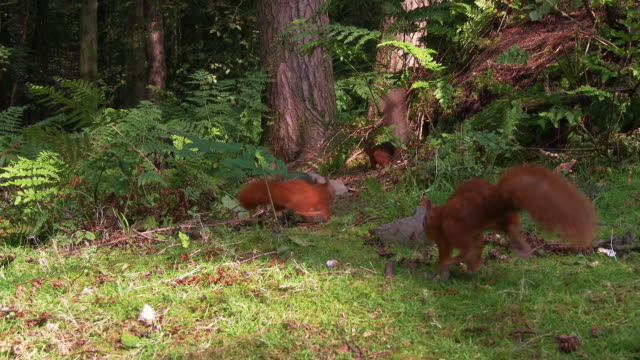 close up of three red squirrels in scottish woodland on a summer morning - small group of animals stock videos & royalty-free footage