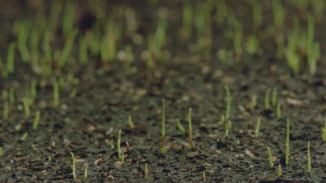 vídeos de stock, filmes e b-roll de close up of time lapse grass growing up in soil - grama