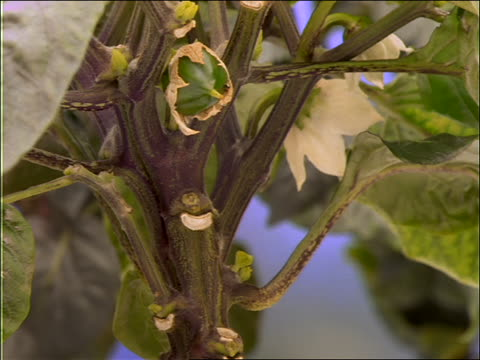 close up of time lapse green peppers growing on plant - peperone video stock e b–roll
