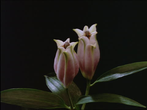 vídeos de stock, filmes e b-roll de close up of time lapse pink japanese lily blooming - sparklondon