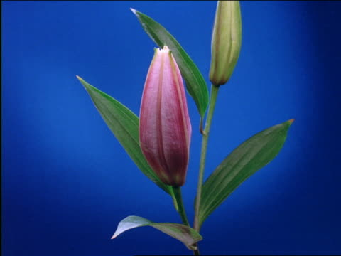 close up of time lapse pink japanese lily blooming - sparklondon stock videos and b-roll footage