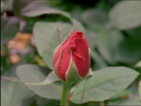 close up of time lapse rose blooming - rose stock-videos und b-roll-filmmaterial