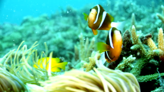close up of two clown fish swimming with anemone - anemonefish stock videos & royalty-free footage