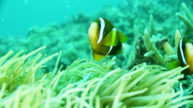 close up of two clownfish swimming - クマノミ亜科点の映像素材/bロール