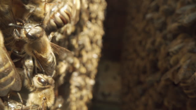 close up of two frames full of honey and bees in beehive - extreme close up stock videos & royalty-free footage
