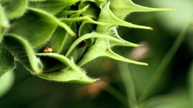 close up of two ladybugs on a sunflower bud - bud stock videos & royalty-free footage