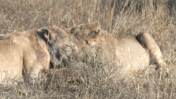 close up of two lions competing for a piece of wart hog in the serengeti