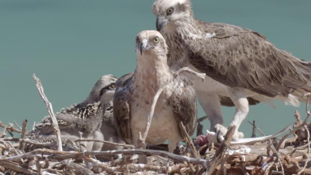 vídeos de stock e filmes b-roll de close up of two osprey parents feeding chicks with its beak - reserva selvagem