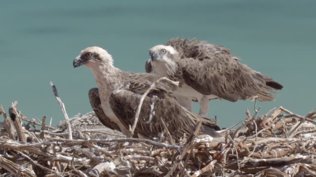 close up of two osprey parents feeding chicks with its beak - osprey stock videos & royalty-free footage