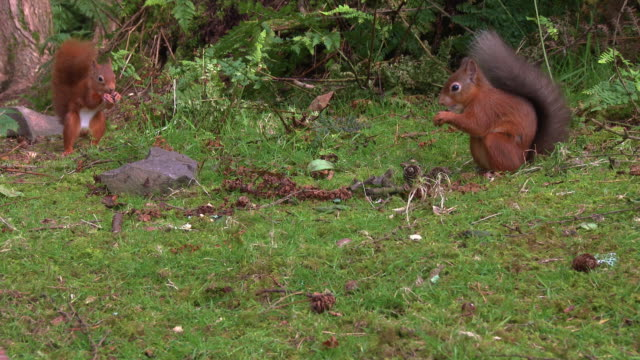 close up of two red squirrels eating nuts in scottish woodland on a summer morning - johnfscott stock videos & royalty-free footage