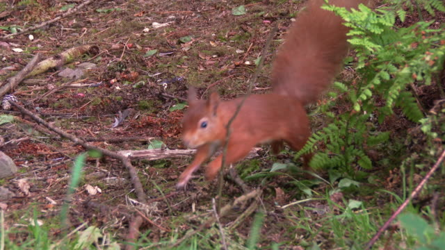 close up of two red squirrels in scottish woodland on a summer morning - johnfscott stock videos & royalty-free footage
