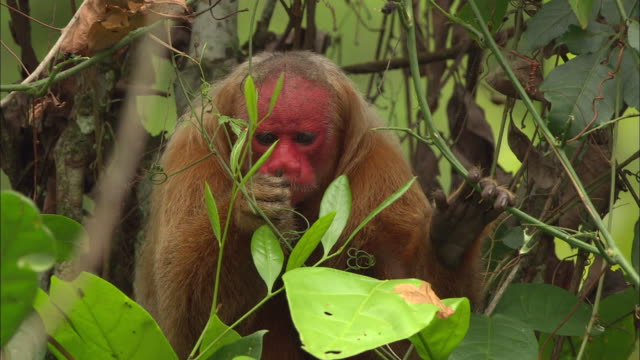 close up of uakari monkey eating fruit on amazon rainforest - primate stock videos & royalty-free footage