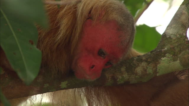 close up of uakari monkey lying down and resting on branch - south america stock videos & royalty-free footage