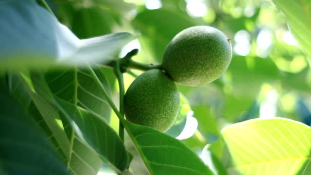close up of walnuts on tree branch - walnut stock videos & royalty-free footage