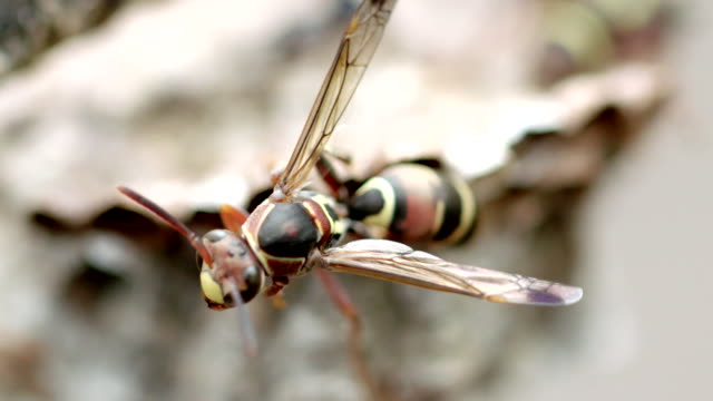 close up of wasp on nest - animal attribute stock videos and b-roll footage