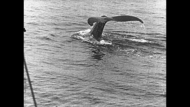 vídeos y material grabado en eventos de stock de 1923 close up of whale's torso and tail as it shows just above the water line - 1923
