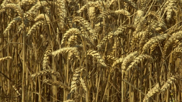 close up of wheat in field ready for harvest - field stock videos & royalty-free footage