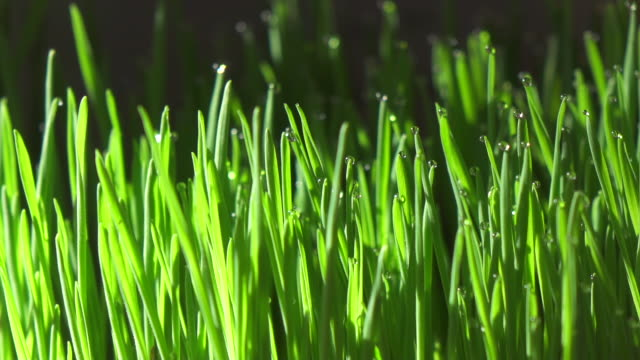 close up of wheatgrass with sunlight in the morning - dew stock videos & royalty-free footage