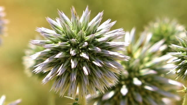 close up of white globe thistle - thistle stock videos & royalty-free footage