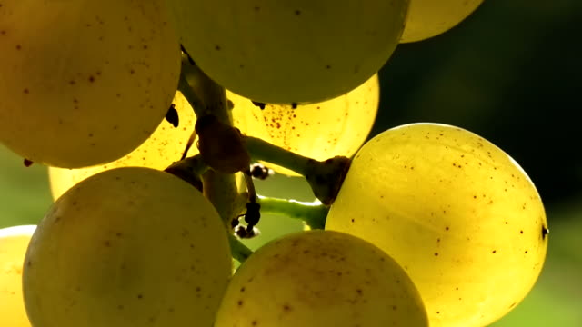 stockvideo's en b-roll-footage met hd: close up of white grapes - macrofotografie
