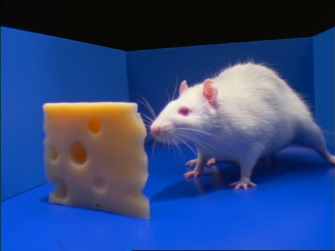 vidéos et rushes de close up of white rat smelling piece of swiss cheese in blue maze - labyrinthe