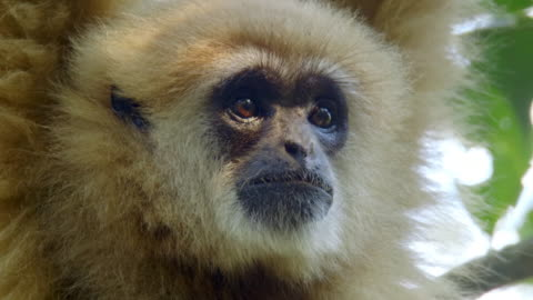 close up of white-handed gibbon's (hylobates lar) face hanging from a branch in sumatra island, indonesia - animal head stock videos & royalty-free footage