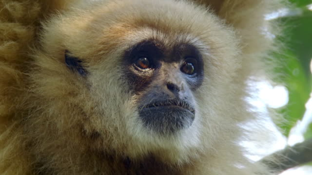 vidéos et rushes de close up of white-handed gibbon's (hylobates lar) face hanging from a branch in sumatra island, indonesia - forêt tropicale humide
