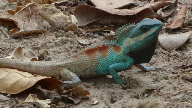 nahaufnahme des wilden eidechsendrachen (blaucrested lizard) auf dem baum im tropischen regenwald. - tierhaut stock-videos und b-roll-filmmaterial