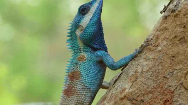 close up of wild lizard dragon (blue-crested lizard) on the tree in tropical rain forest. - dragon tree stock videos & royalty-free footage