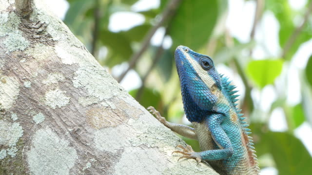 close up of wild lizard dragon (blue-crested lizard) on the tree in tropical rain forest. - south east asia stock videos & royalty-free footage