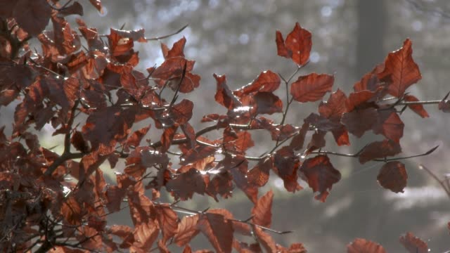 Close up of wilted beech leaves in winter