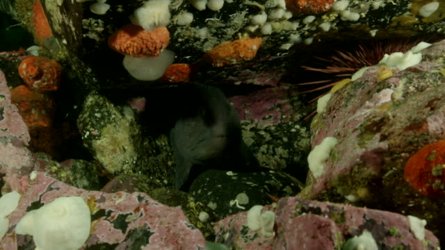 Close up of wolf eel among rocks.