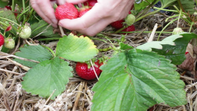 vídeos y material grabado en eventos de stock de close up of woman picking strawberries, uk - fresa