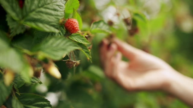 vídeos de stock e filmes b-roll de a close up of woman's hand picking raspberry from a raspberry tree on sunrise - fruta
