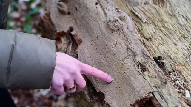 close up of woman's hand pointing with her index finger the holes produced by parasites from the dry trunk of a cut tree. germany. - index finger stock videos & royalty-free footage