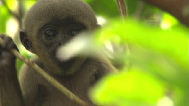 close up of wooly monkey embracing baby and climbing tree - south america stock videos & royalty-free footage