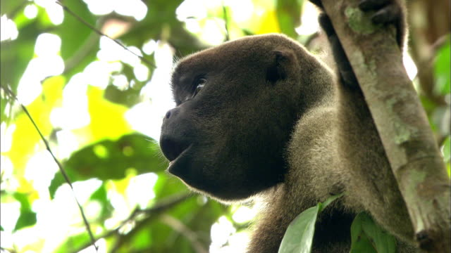 close up of wooly monkey hanging tree and opening mouth - south america stock videos & royalty-free footage