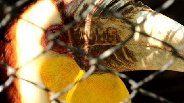 Close up of Wreathed hornbill In the cage