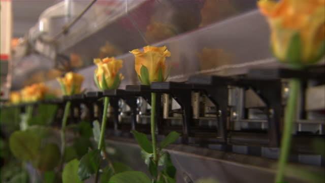 vidéos et rushes de close up of yellow roses moving through a chain conveyor belt. - groupe moyen d'objets